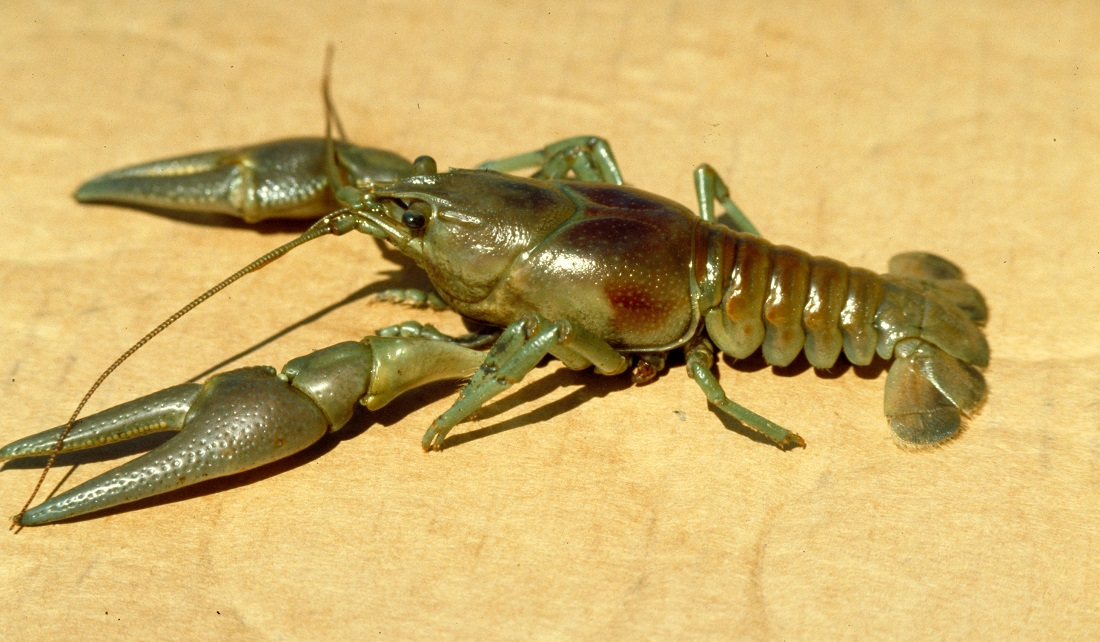 image of rusty crayfish
