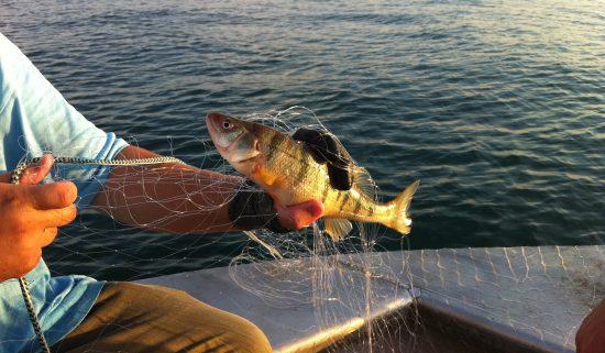 yellow perch caught nearshore on Lake Michigan