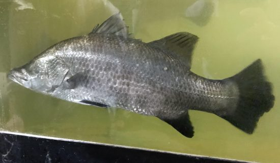 Barramundi fish in an aquaculture tank