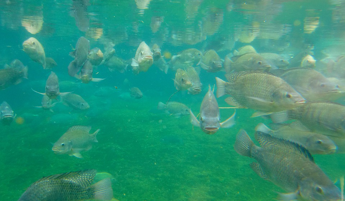 fish in an aquaculture tank