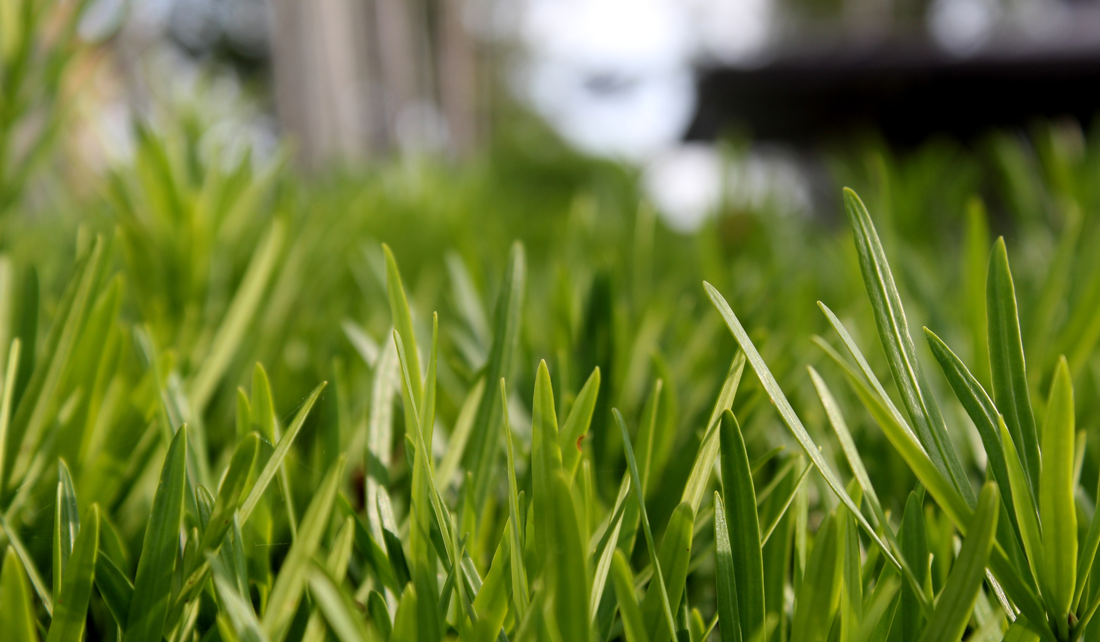 closeup of grass blades on a lawn