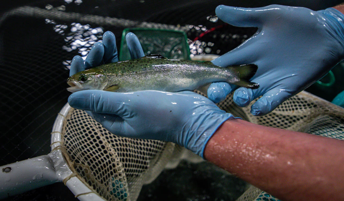 A person with blue sterile gloves holds a fish pulled from an aquaculture tank at AquaBounty Farms Indiana