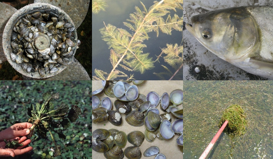 Various types of Aquatic Invasive Species found in Illinois and Indiana