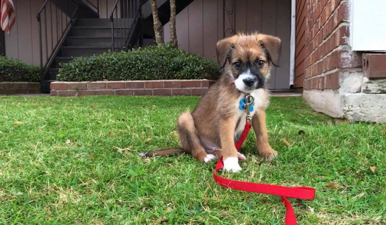 puppy with collar and red leash sits on lawn